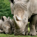 mother_rhino_with_baby